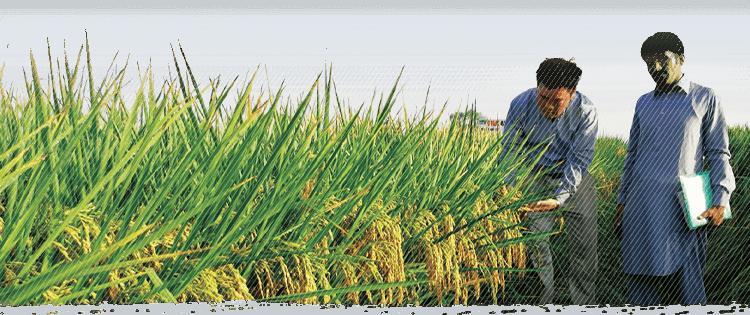 雜交水稻授人以糧